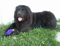photo:  Newfoundland dog Ceileigh celebrating 1st birthday