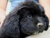 photo:  Newfoundland pup Ceileigh