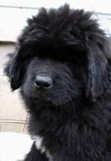 pic: Newfoundland pup; Lucky @ 9 weeks