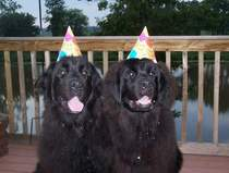 photo:  Newfoundland dogs; Maggie celebrating her 1st birthday! with Paddy