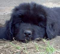 pic:Newfoundland pup; Lucky @ 7 weeks