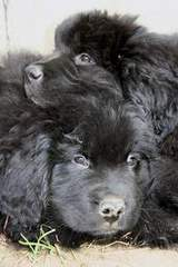 photo: Newfoundland pups: Jessie (bottom) and Maggie (top)
