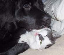 pic: Newfoundland dog: Ruby and her cat 'Puss Puss'