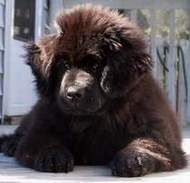 photo:  Newfoundland pup; Zoey @ 3 months,