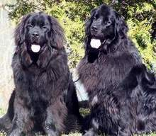 photo:  Newfoundland dogs; Maggie with Paddy showing off their Spring coats.