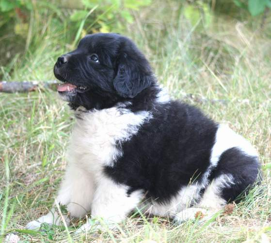 Newfoundland pup image:  Gracie-Ann at 7 weeks old.