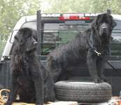 Newfoundland dogs: Abby and Storm