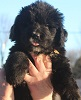 Newfoundland pup: Caramor's Little Newfie Annie (Ike x Willow)