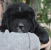 Newfoundland pup: Augusta The Brave Of Caramor (Ike x Willow)