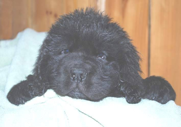Image of 8 week old Newfoundland pup.