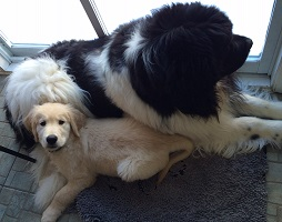 Landseer Newfoundland dog: Barnaby with his Golden Retriever buddy