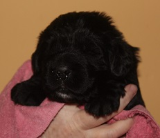 Newfoundland pup Barry