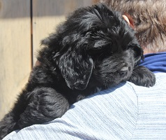 Newfoundland puppy: Barry