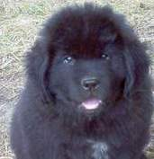 photo:  Newfoundland pup Maggie @ 7 weeks