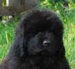 Newfoundland pup: 'Caramor's Beaumont Bonaventure' (Guinness x Cookie)