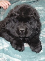 Newfoundland pup Boston (Ike x Mabel)