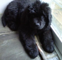 Newfoundland pup Boston