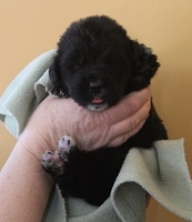 Newfoundland pup image: Brad at 2 weeks