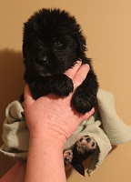 Newfoundland pup image: Brad at 3 weeks