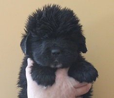 Newfoundland pup image: Brad at 4 weeks