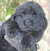 Newfoundland pup 'Caramor's Midnight Skye (Ike x Mabel)