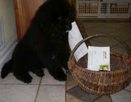 Newfoundland pup Bronte, helping with the mail.