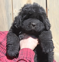 Newfoundland puppy: Bruce