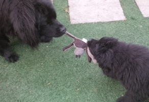 Newfoundland puppy image: Bubba with his friend 'Winfrey'
