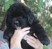 Newfoundland pup: Buttercup (Ike x Willow)