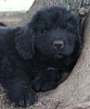 Newfoundland pup 'Caramor's Charlie' (Ike x Louise)