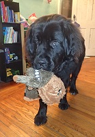 Newfoundland dog Chewie with his namesake, stuffed Chewbacca toy
