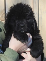 Newfoundland pup: Chewie Rayner of Caramor (Excalibur x Penny)