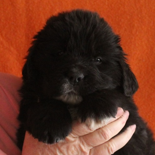 Newfoundland pup 'Piper' at 5 weeks