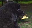 Newfoundland pup: 'Caramor's Barkley'  (Guinness x Cookie)
