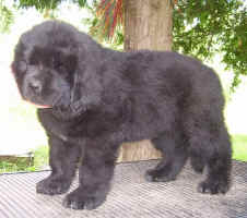 Newfoundland puppy image: Caramor's Molly McGee