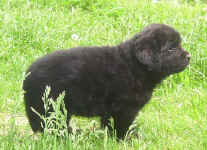 Image of five week old Newfoundland puppy