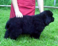 Image of 7.5 week old Newfoundland pup.