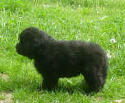 Image of 5 week old Newfoundland pup