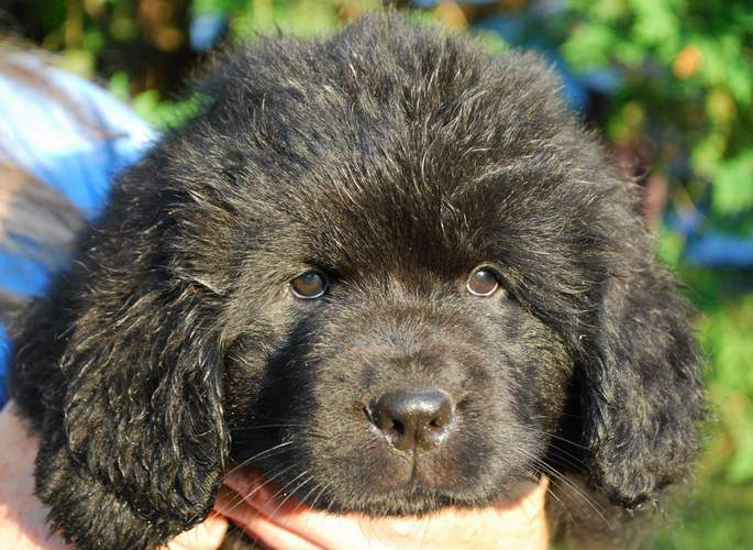 Newfoundland pup 'Caramor's Madame Cabot' (Cabot x Cookie)