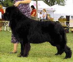 Newfoundland Stud Dog: Ch Pattesdouces Cruise To Yahka