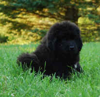 Newfoundland pup Daisy at 8 weeks old