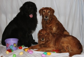 Daisy (Newfoundland), Neo & Trini (Golden Retrievers)