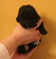Newfoundland pup image: Dana at 10 days