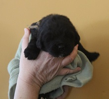 Newfoundland pup image: Dana at 2 weeks