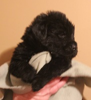 Newfoundland pup image: Dana at 3 weeks
