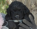 Newfoundland pup: Walter (Ike x Louise-formerly Dexter)