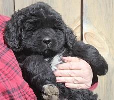Newfoundland puppy: Diana