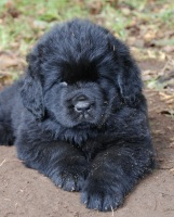 Newfoundland pup: Elvis (Excalibur x Cookie)