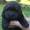 Newfoundland pup 'Caramor's Dutch' (Ike x Mabel)