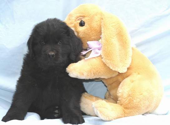 Newfoundland puppy, Becky at 7 weeks old